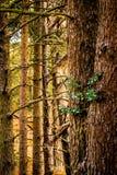Groupe de troncs d'arbre de conifère photographie stock libre de droits