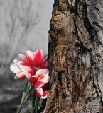 Groupe de tulipes à côté du vieil arbre. Photo stock