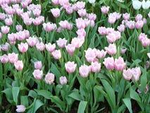 Groupe de tulipes Photographie stock libre de droits