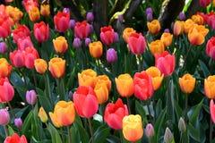 Groupe de tulipes color?es s'?levant dedans photo stock