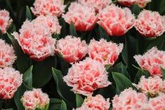 Groupe de tulipes de couleur saumons avec les bords blancs Images stock