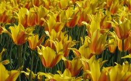 Groupe de tulipes jaunes et oranges photos libres de droits