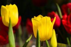 Groupe de tulipes jaunes sous le groupe de tulipes jaunes sous la lumière de lightsun du soleil photo libre de droits