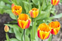 Groupe de tulipes oranges dans le jardin Photo libre de droits
