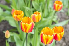 Groupe de tulipes oranges dans le jardin Image libre de droits