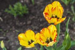 Groupe de tulipes oranges dans le jardin Photos stock