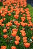 Groupe de tulipes roses dans le ciel bleu d'agains de parc Image stock
