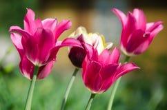 Groupe de tulipes roses dans un jardin Photo stock