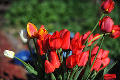Groupe de tulipes rouges Photographie stock libre de droits