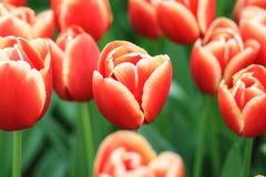 Groupe de tulipes rouges avec les bords jaunes photographie stock