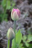 Groupe de tulipes rouges de floraison Image stock