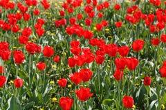 Groupe de tulipes rouges en parc photo stock