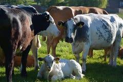 Groupe de vache Image stock