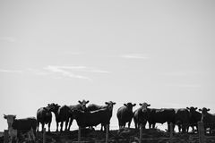 Groupe de vaches dans la terre intensive d'exploitation d'élevage, Uruguay Photo libre de droits