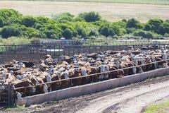 Groupe de vaches dans la terre intensive d'exploitation d'élevage, Uruguay Image libre de droits