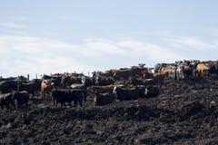 Groupe de vaches dans la terre intensive d'exploitation d'élevage, Uruguay Photographie stock