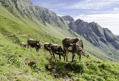Groupe de vaches dans les alpes Photo libre de droits
