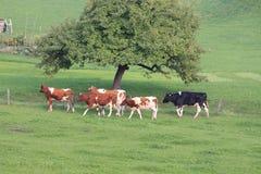 Groupe de vaches marchant sur les pâturages verts Image stock