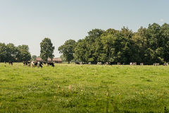 Groupe de vaches noires et blanches dans le pâturage Image stock