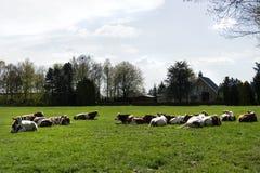 Groupe de vaches rouges et blanches se situant dans un pré près d'une ferme Image stock