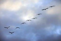 Groupe de vol de mouettes Photographie stock