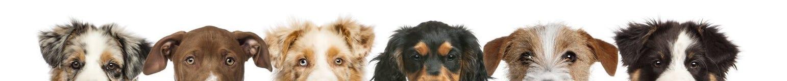 Groupe de vue cultivée des têtes de chien images libres de droits