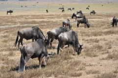Groupe de wildebeest au lac Manyara Images libres de droits