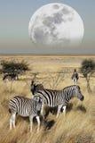 Groupe de zèbre (quagga d'Equus) - Namibie Photographie stock libre de droits