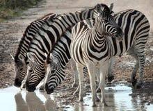 Groupe de zèbres, Namibie Photo stock