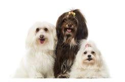 Groupe des chiens de halètement, maltais et de Havanese, d'isolement photo stock