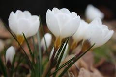 Groupe des crocusses fleurissants blancs images libres de droits