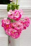 Groupe des roses roses de floraison Photographie stock libre de droits