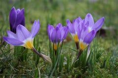 Groupe do sieberii de florescência dos crocusses tricolor Fotografia de Stock Royalty Free