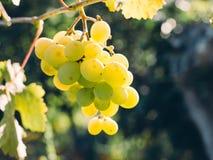 Groupe doux et savoureux de raisin blanc sur la vigne photographie stock libre de droits