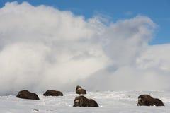 Groupe Dovrefjell Norvège de Muskox Image libre de droits