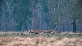 Groupe du mâle de cerfs communs rouges dans le domaine entrant dans une forêt Photographie stock