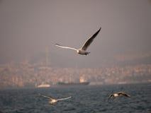 Groupe du vol d'oiseau de mouette par la mer Image libre de droits