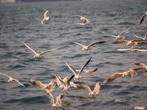 Groupe du vol d'oiseau de mouette par la mer Photos libres de droits