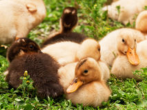 Groupe of ducklings Royalty Free Stock Images