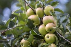 Groupe en gros plan de belles pommes vertes avec des baisses de rosée accrochant mûrissant sur la branche de pommier avec les feu images stock