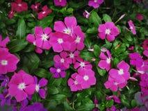 Groupe en gros plan de fond rose vif de fleurs photo libre de droits