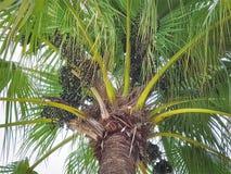 Groupe en gros plan de fruits frais de paume sur l'arbre Photo stock