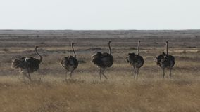 Groupe Etosha Namibie d'autruche photographie stock libre de droits
