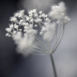 Groupe fleurissant d'aneth Photos stock