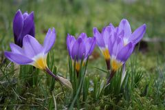 Groupe of flowering crocusses sieberii tricolor. Flowering crocusses sieberii tricolor in spring in the grass Royalty Free Stock Photography
