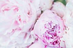 Groupe frais de pivoines roses et blanches Image libre de droits