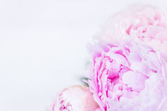 Groupe frais de pivoines roses et blanches Photos stock