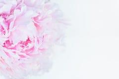 Groupe frais de pivoines roses et blanches Photographie stock libre de droits