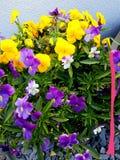 Groupe gentil de belles fleurs dans un pot Lydd sur la mer Kent England photo stock
