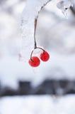 Groupe glacé de Viburnum photos libres de droits